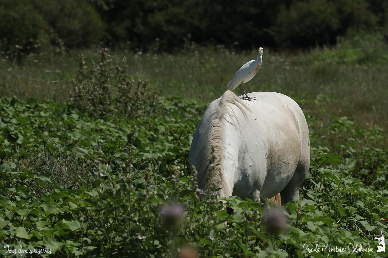 Cheval de Camargue et Héron Garde-boeufs