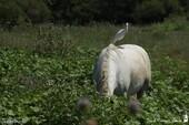 Cheval de Camargue et Hérons Garde-boeuf