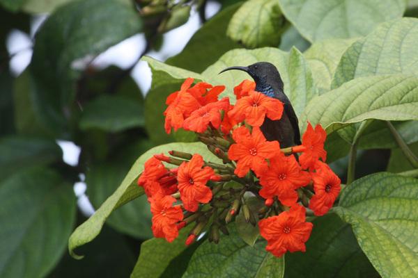 Souimanga des Seychelles - Mahé