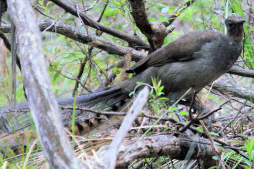 Ménure superbe (Superb Lyrebird) Australie