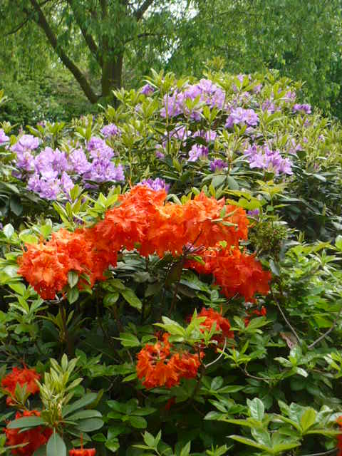 rhododendrons..
