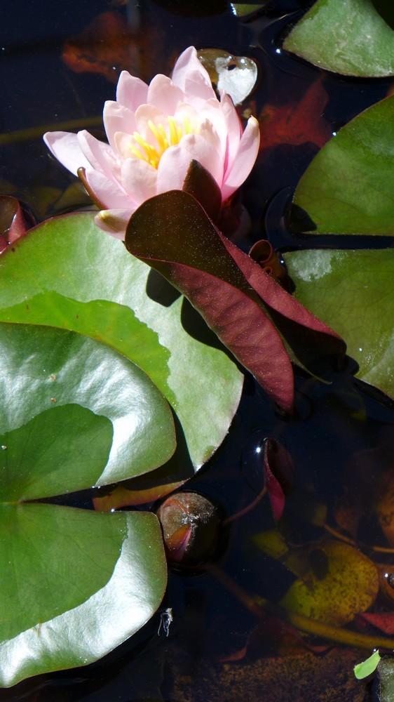 Premières fleurs dans le bassin aux nénuphars...