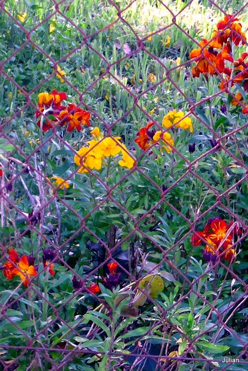 Les fleurs des giroflées