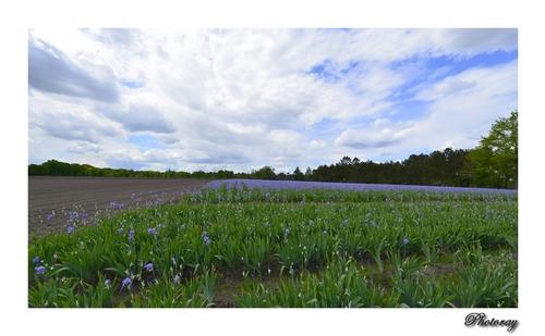 Un champ d'Iris