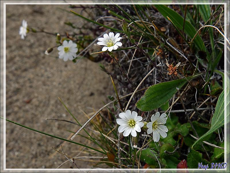 Céraiste des champs, Cuernecita (Cerastium arvense) - Estancia Cristina - Lago Argentino - Patagonie - Argentine
