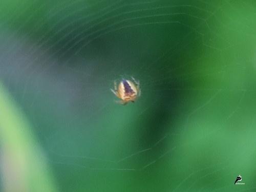 Epeire diadème (Araneus diademata) juvénile