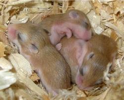 bebes hamsters roborovskis