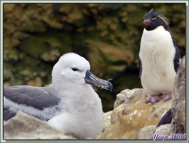 Albatros à sourcils noirs (Thalassarche melanophris) - New Island - Falkland Islands, Iles Malouines, Islas Malvinas