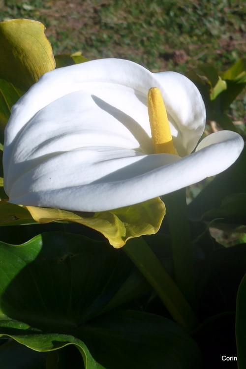 Mon arum est en fleur !