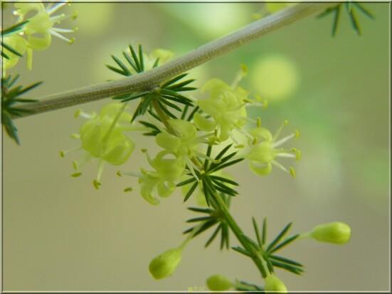 Asperge sauvage en fleurs