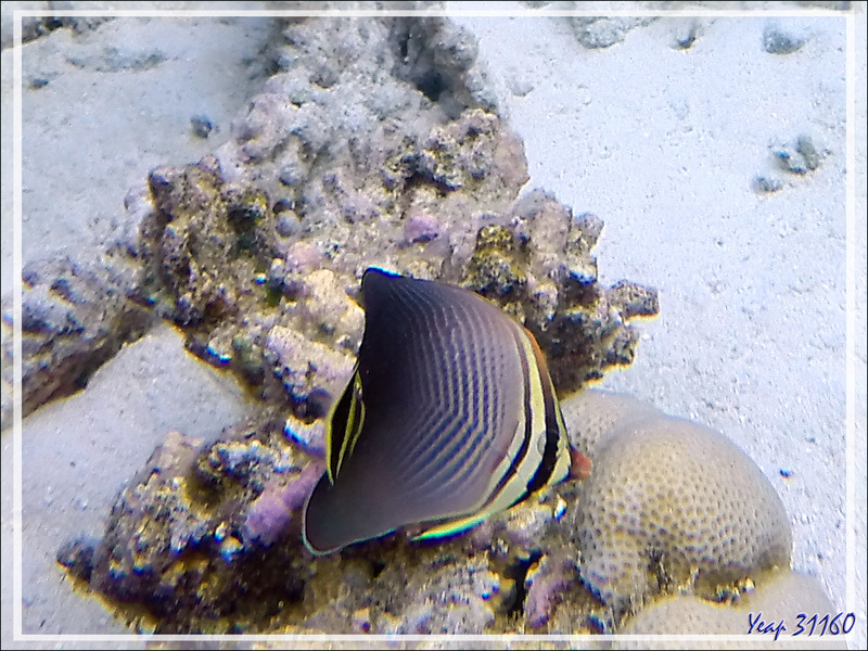 Snorkeling : Poisson-papillon triangulaire indien, Triangle butterflyfish (Chaetodon triangulum) - Moofushi - Atoll d'Ari - Maldives