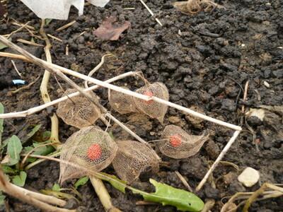 Ce sont peut être les végétaux qui ont inventé la dentelle.