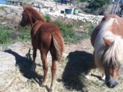 Les chevaux de Ré