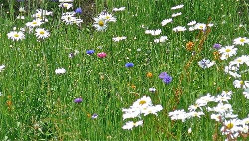 Fleurs des prés :