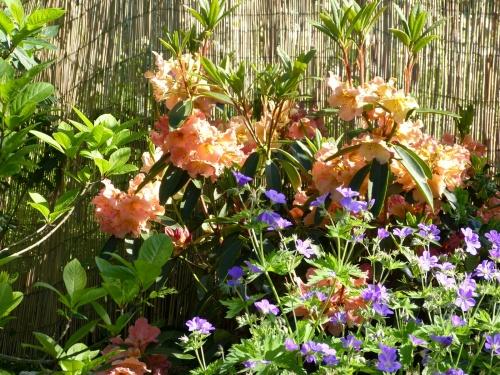 Les Géraniums vivaces