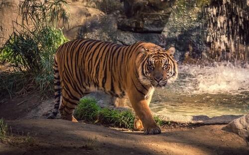 Attention danger ! le Tigre