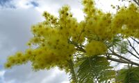 Mimosa fleurs 2