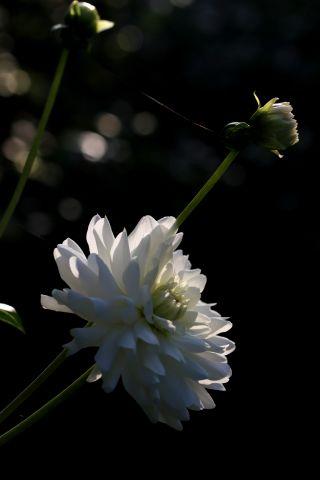 Dahlias : White Ballet