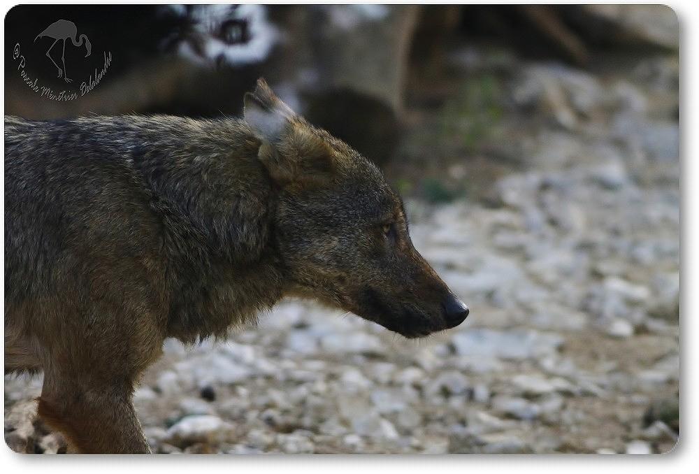 Loup Ibérique...