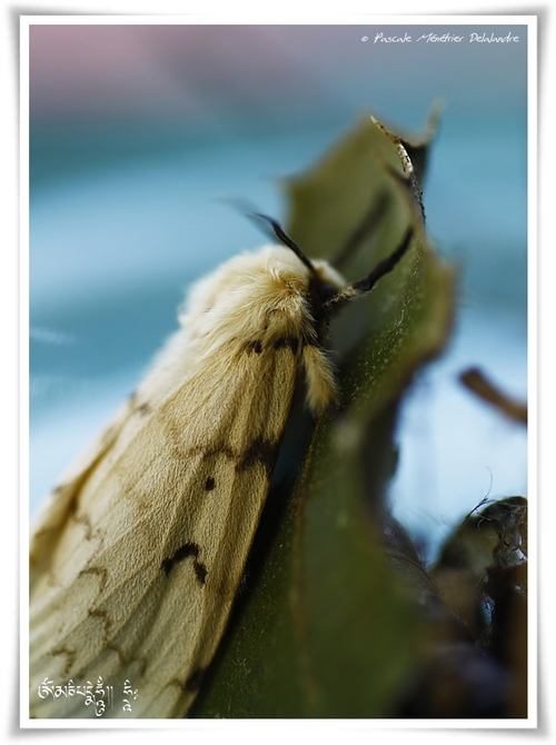 Bombyx disparate, (Lymantria dispar)