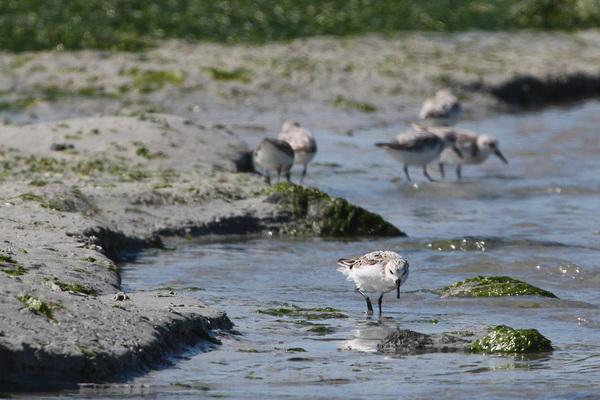 Bécasseau sanderling - Santec