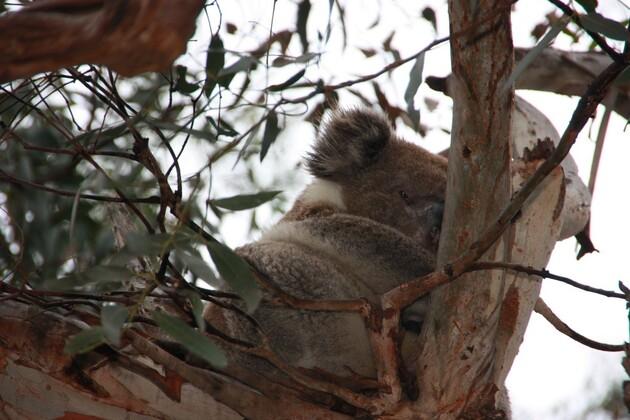 Koalas100012--28-.jpg