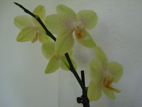 Phalaenopsis : quelques photos