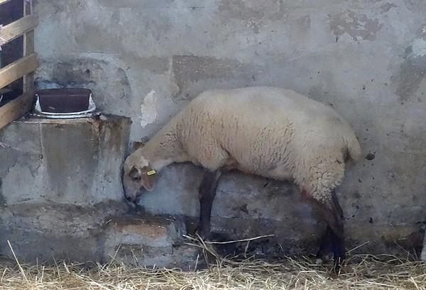"""Les """"Mardis Découvertes"""" de l'OTPC nous ont fait connaître l'élevage ovin de la ferme du Conclois"""