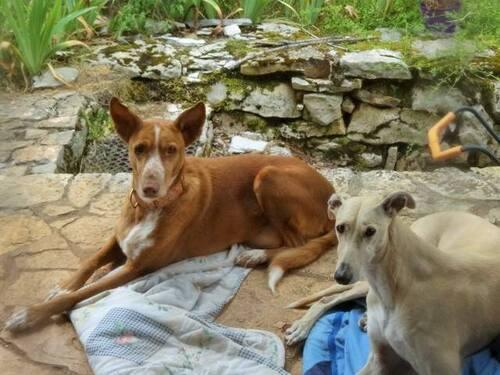 Les mal aimés en accueil / URGENT SOS PODENCO RESCUE