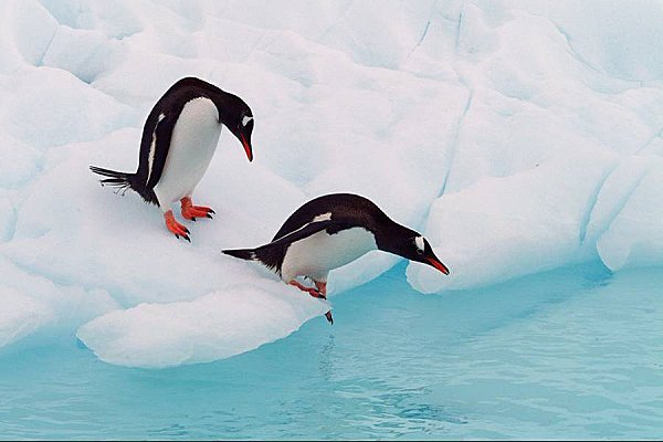 pingoin-12.jpg
