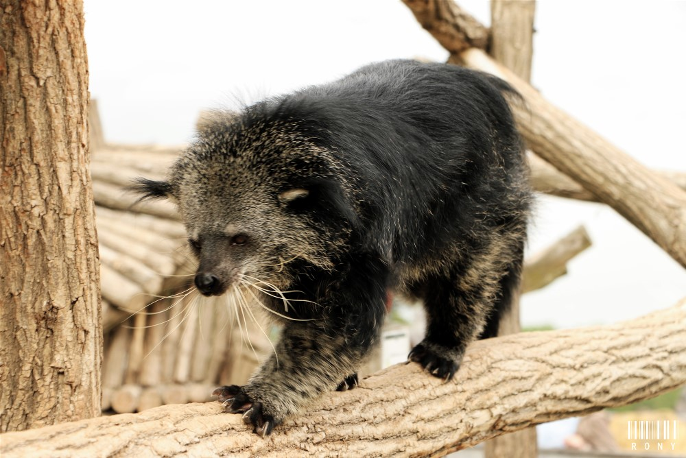 dorable Binturong :) Part.3