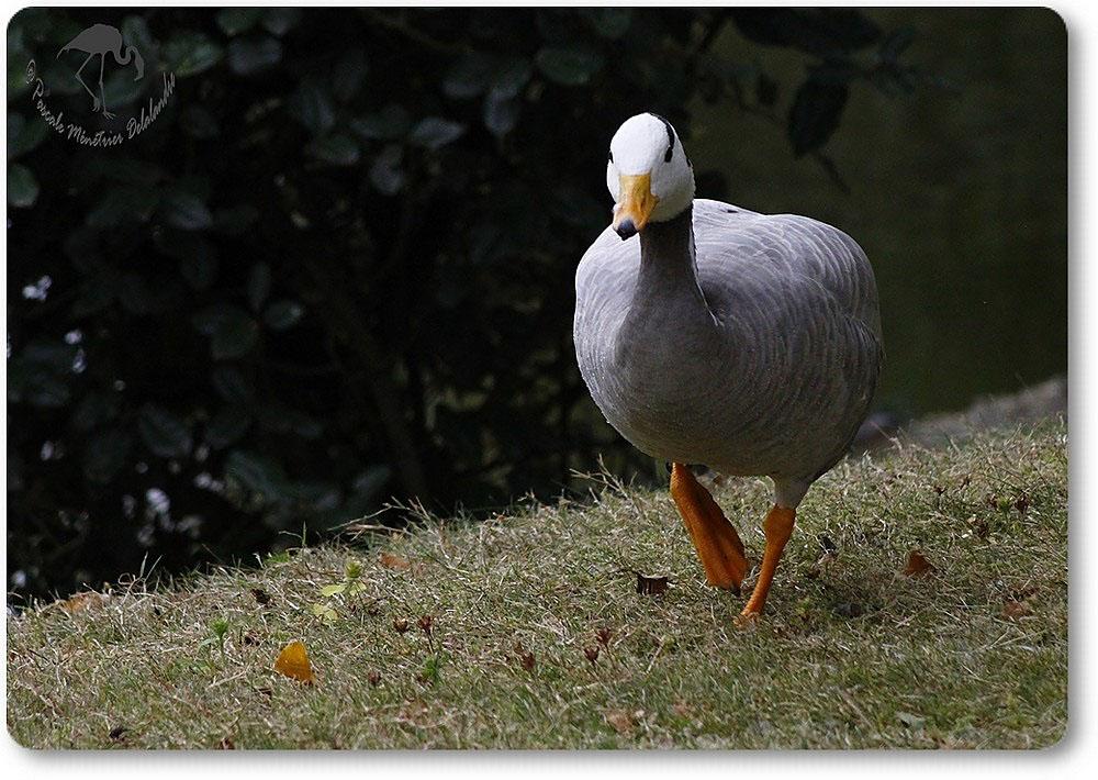 Oie à tête barrée - Anser indicus