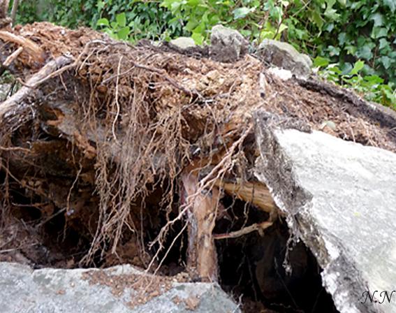 Mort d'un vieil arbre