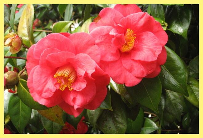 Tsubaki   (  Camellias )