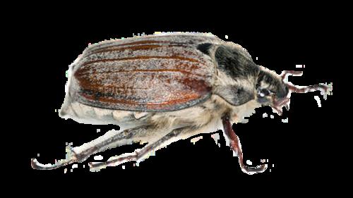 Gerippter Brachkäfer,Pingborre; Chroustek letní,Junikever, canicule , hannetons insectes, coléoptères, ,Nimy, Mons,be