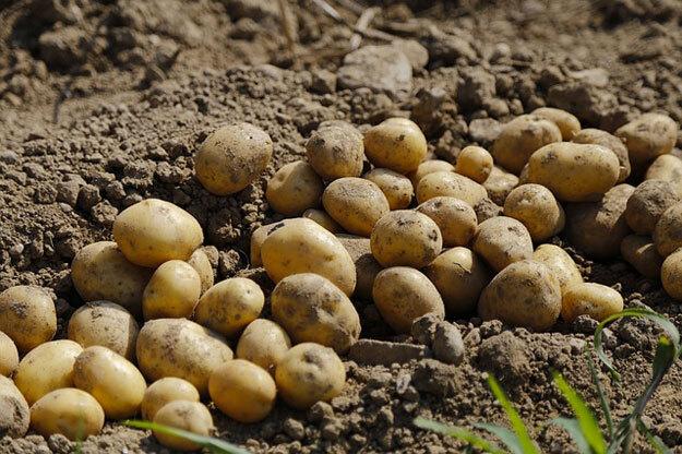 panier-amap-fevrier-pommes-de-terre
