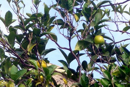 Les citrons sur l'arbre