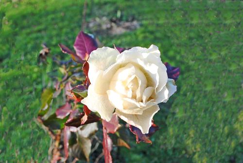 Des roses en hiver!