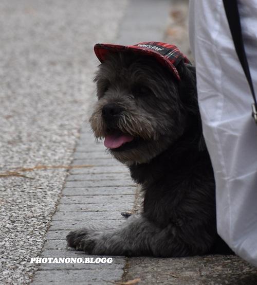 Gavroche dog