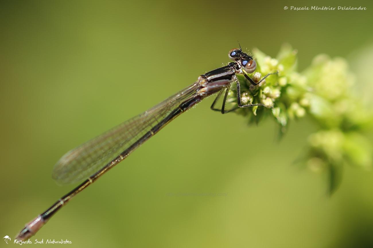 Ischnure élégante en phase de transition (Ischnura elegans)