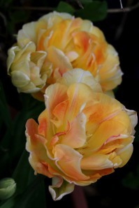 Tulipes Charming Lady2