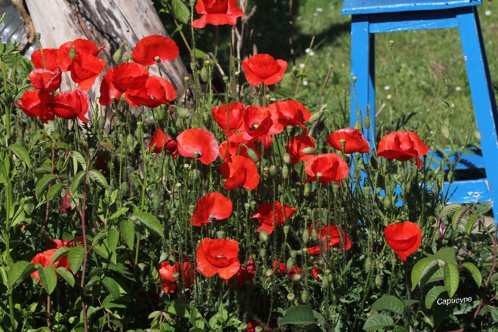 Le jardin champêtre : les coquelicots (2) !