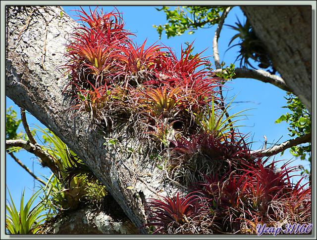 Blog de images-du-pays-des-ours : Images du Pays des Ours (et d'ailleurs ...), Concentration de Bromelias - Entre les volcans Rincon de la Vieja et Arenal - Costa Rica