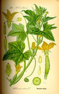 250px-Illustration_Cucumis_sativus0.jpg
