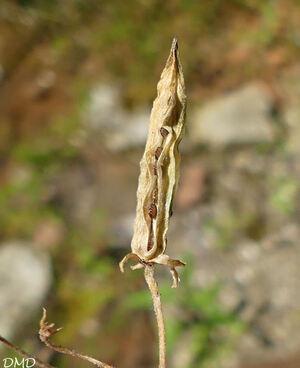 Oxalis corniculata  -  oxalis corniculé