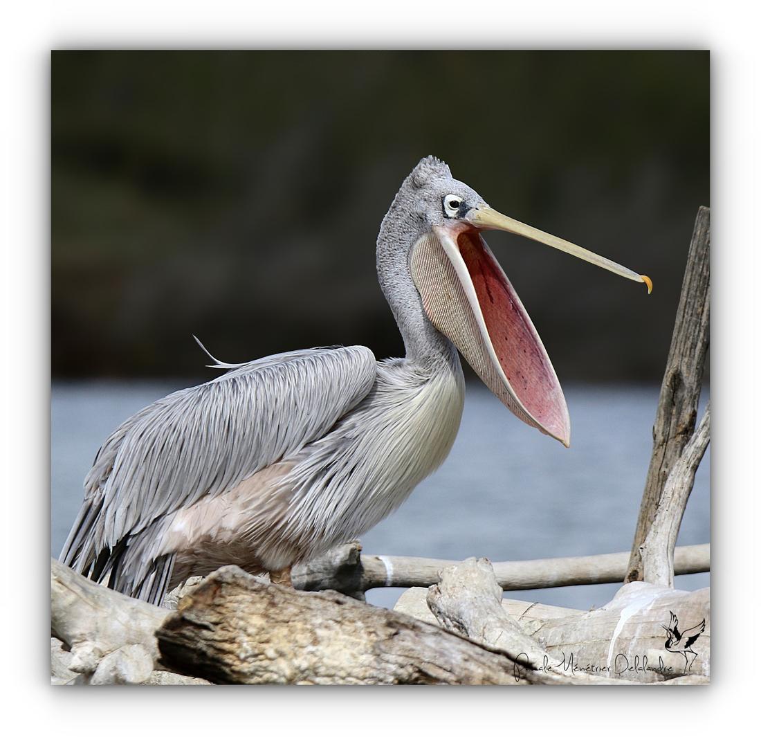 Petite cantate par un Pélican gris