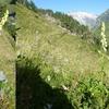 Aconit tue-loup (Aconitum lycoctonum subsp. vulparia)
