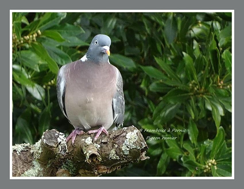 Pigeon ramier ou Palombe - 2016