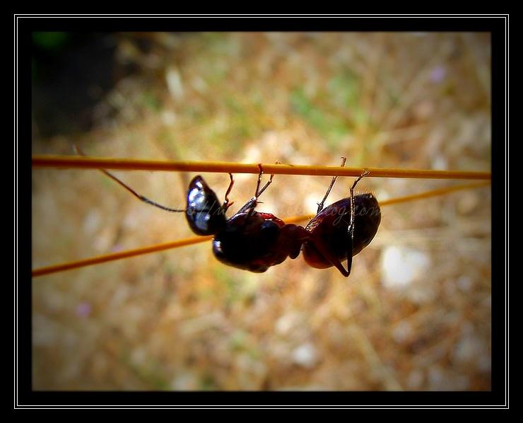 Une fourmi éléphantesque !
