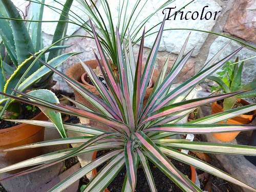 Plantes d 39 int rieur yucca agavac es chezmamielucette for Plante yucca exterieur